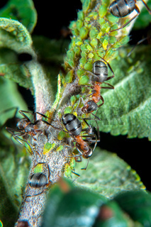 Ants patroling their green plant lice
