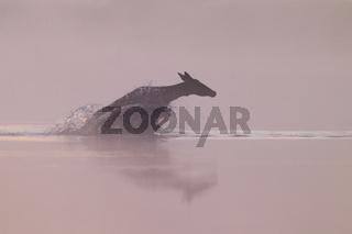 Rottier durchquert einen Teich / Cervus elaphus