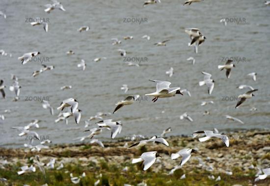 A flock of Black-headed gull (Chroicocephalus ridibundus) flying above the North Sea