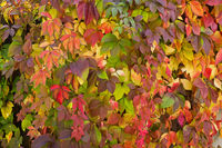 orange-red autumn background with leaves of wild grape closeup