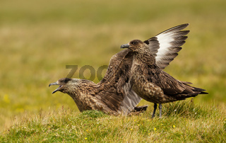 Close up of two Great Skuas