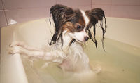 Wet Papillon dog stands in the bathroom