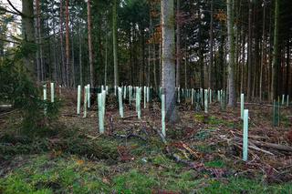 Wiederaufforstung nach Baumfällung von geschädigten Fichten