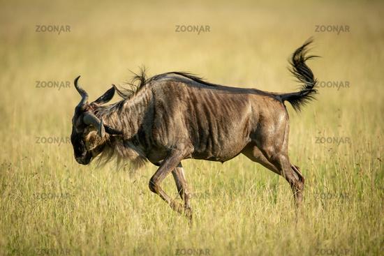 Blue wildebeest frolics in grass in sunshine