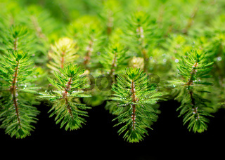 Watermilfoil plants in a pond