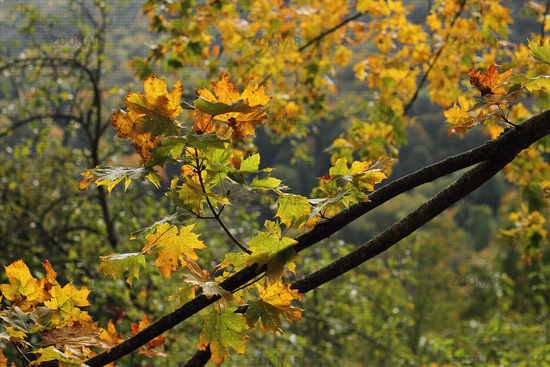 Maple leaves (Acer)