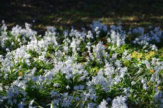Scilla mischtschenkoana, Mischtschenko Blaustern, Early squill