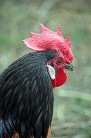 Semi-Fowl Partridge