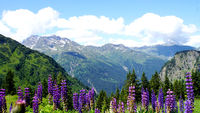 Blue lupines in the high mountains