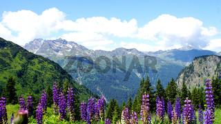 Blaue Lupinen im Hochgebirge