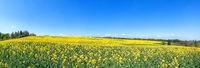 Blooming, slightly sloping rapeseed field in spring