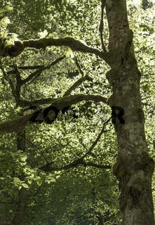Bemooste Bäume im Frühling