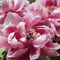 Paeonia suffruticosa pink flower