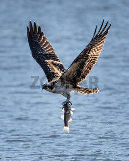 Osprey in Flight With Catch XXVII