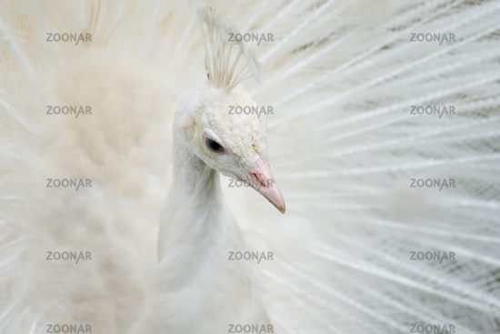 Portrait of a white peacock