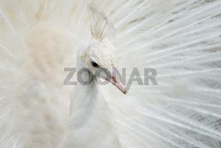 Portrait von einem weißen Pfau