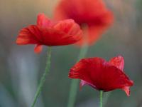 Poppies in autumn