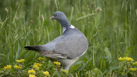 Common Wood-Pigeon in Meadow