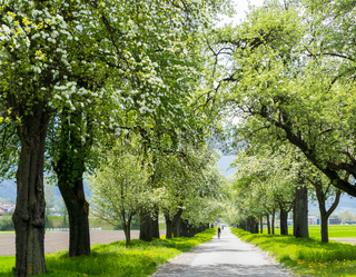 people riding bikes along a country road with springtime trees with white blossoms