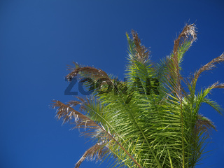 Phoenix canariensis frond on blue