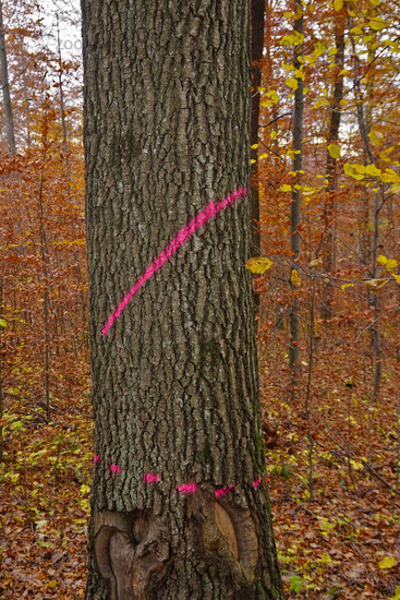 Colour marking on an oak for precipitation