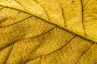 Back side of dry teak leaf texture closeup background