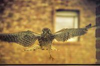 Hawk approaching