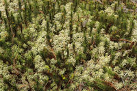 Fringed moss (Sphagnum)
