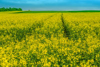 Yellow seed field in springtime