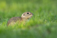 Endangered european ground squirrel hiding with copy space