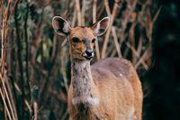 rare Menelik bushbuck, Ethiopia, Africa wilderness