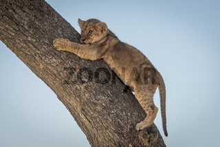 Lion cub clings to tree looking left
