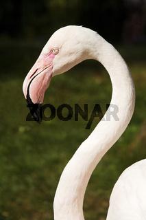 BO_Zoo_Flamingo_01.tif