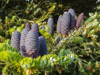 The pine cones of the koreatanne stand vertically upwards.