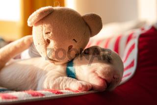 Puppy Sleeping on Dog Beg Teddy Bear Morning Sunrise
