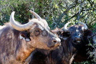 Buffaloes standing and staring at you