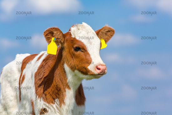 Portrait of newborn calf with blue sky
