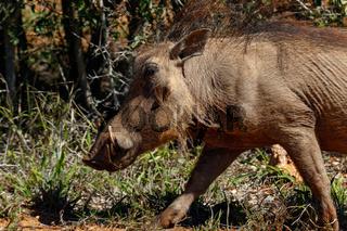 Running warthog between the grass
