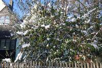Cotoneaster salicifolius var. floccosus, Willowleaved Cotoneaster