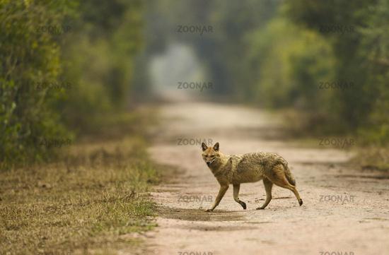Indian Jackal, Canis aureus, Bharatpur, Rajasthan, India
