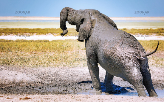 elephant in the mud, Etosha National Park, Namibia, (Loxodonta africana)