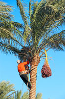 Man harvesting dates. Workers gather dates growing on palm tree. Farmer harvesting ripe dates from d
