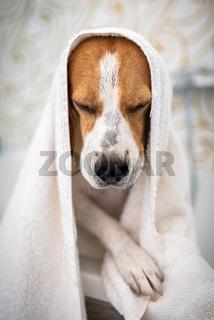 Nervous beagle dog in bathtub taking shower. Dog not liking water baths concept.