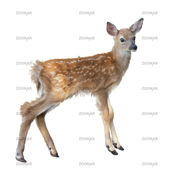 whitetail deer fawn watercolor