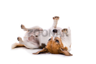 Adult beagle dog lying on back isolated on white background