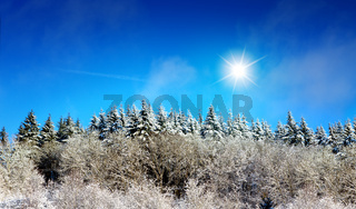 Winter forest with fir trees in a rays of sun.