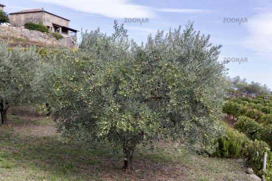 Olive tree in France