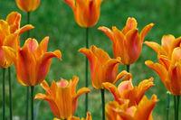 bed of orange tulips closeup