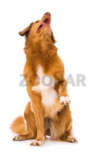 Dog lift the paw on white background