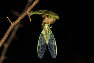 Cicada on molt, Cicadoidea, Matheran, Maharashtra, India.